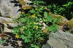 Greater Celandine (Chelidonium majus)